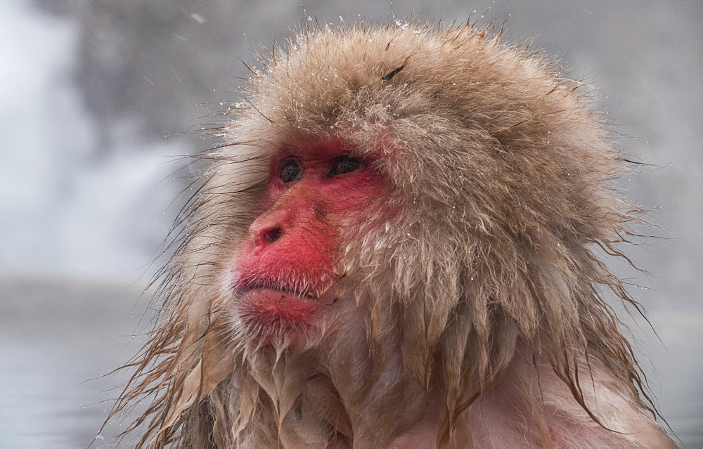 Snow Monkey looking out, Honshu, Japan, Asia - 958-1183