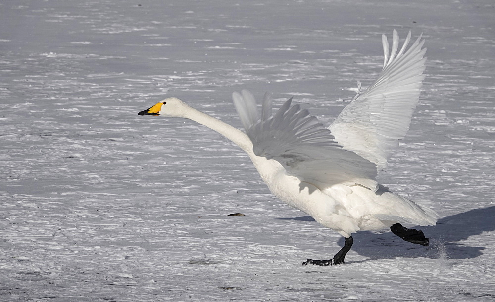 Hooper swan taking off, Lake Kussharo, Akan National Park, Hokkaido, Japan, Asia