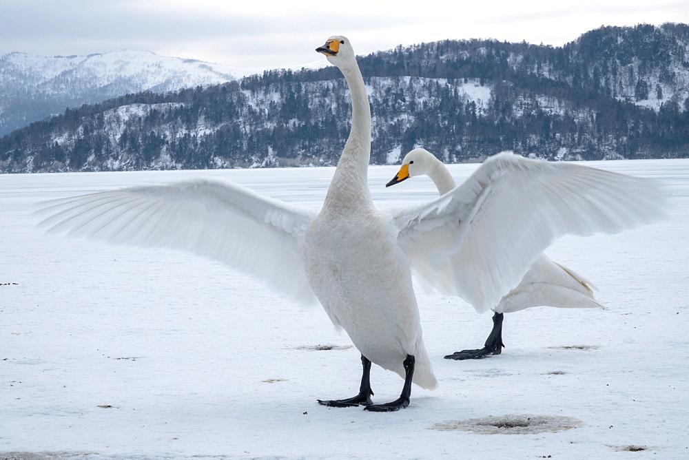 Hooper swan wing span, Lake Kussharo, Akan National Park, Hokkaido, Japan, Asia - 958-1190