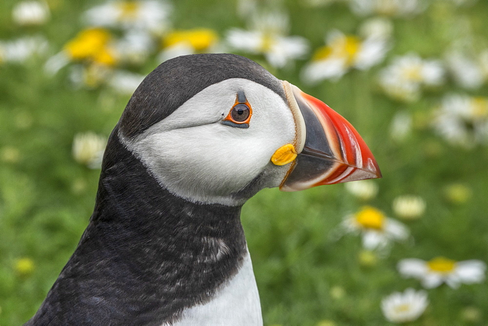 Puffin head close up from the side on Skomer, Wales, United Kingdom, Europe - 958-1206