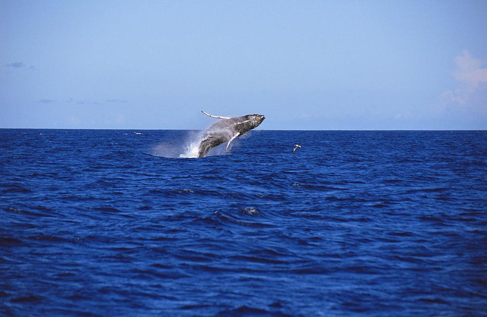 Humpback Whale (Megaptera novaeangliae) - 969-169