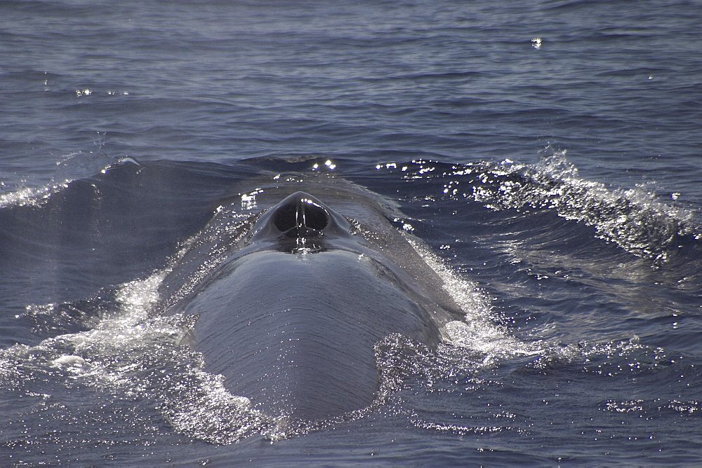 Fin Whale, Balaenoptera physalus, showing blowhole and back off the Azores Islands (A4 only). - 969-191