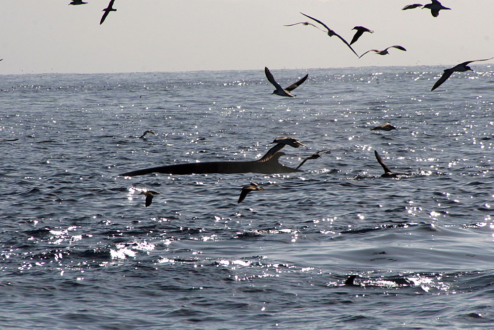 Fin Whale surfacing amid Cory's Shearwaters in the Azores - 969-253