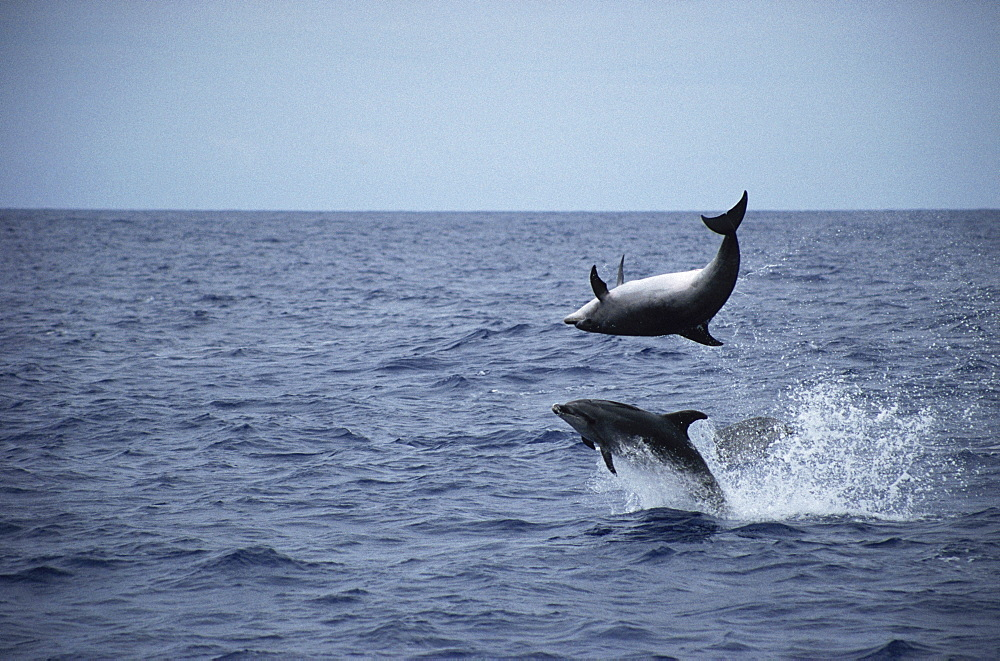 Bottlenose Dolphin (Tursiops truncatus) leaping duo. Azores - 969-28