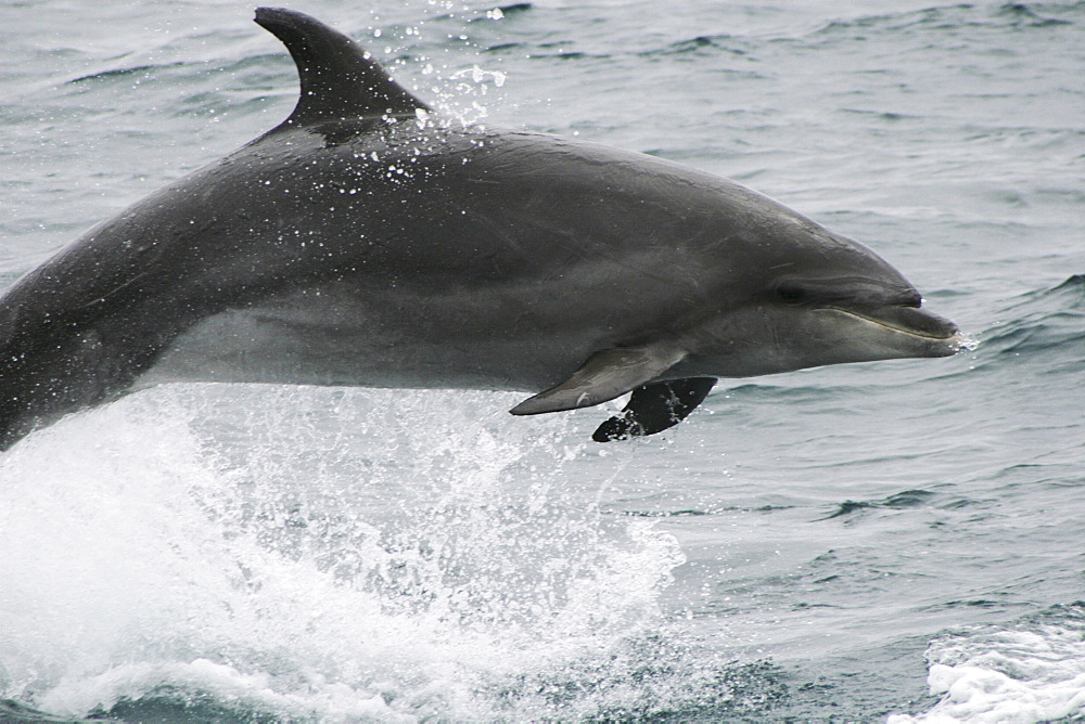 Bottlenose dolphin leaping clear of the water. Azores, North Atlantic - 969-335