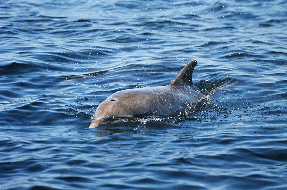 Bottlenose dolphin (Tursiops truncata) that took up resident around an island in the Hebrides for many years with her calf: Starlight and Sparkle. West coast of Scotland, UK - 969-4