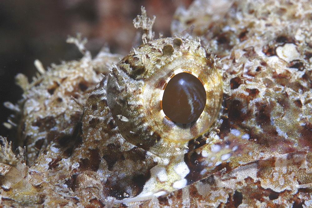 Bearded Scorpionfish (Scorpaenopsis barbatus) detail of eye,Raiatia, French Polynesia