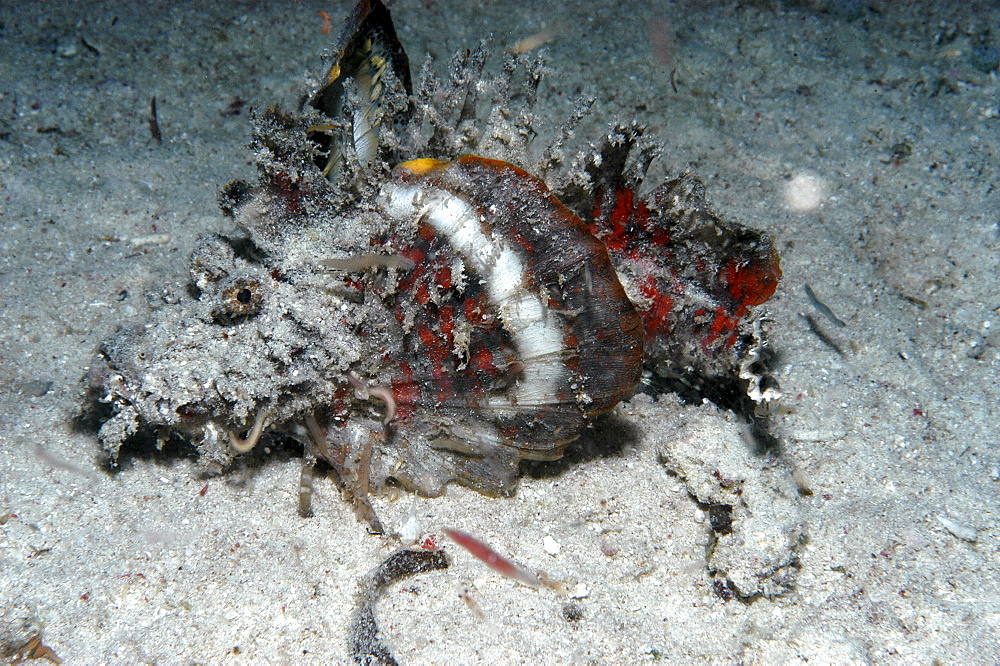 Japanese Scorpionfish (Inimicus japonicus). very colourful with camouflage, Mabul, Borneo, Malaysia
