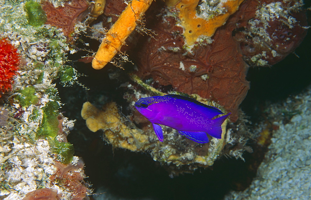 Blackcap basslet (Gamma melacara), view of purple fish with sponges and corals behind, Cayman Islands, Caribbean - 970-119