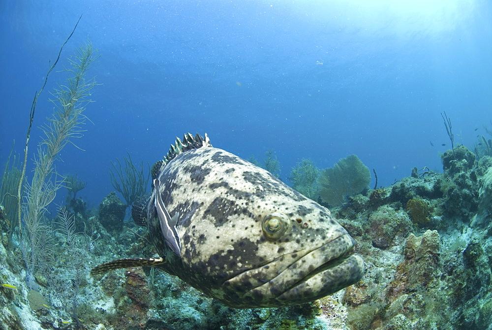 Goliath Grouper (Epinephelus itajara) swimming over coral reef towards camera, Little Cayman Island, Cayman Islands, Caribbean