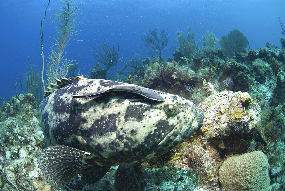 Goliath Grouper (Epinephelus itajara) swimming over coral reef with remora suckerfish on back, Little Cayman Island, Cayman Islands, Caribbean - 970-123