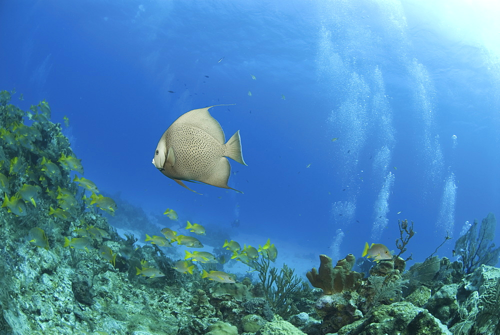 Grey Angelfish (Pomacanthus arcuatus), swimming over coral reef with diver in background, Cayman Islands, Caribbean