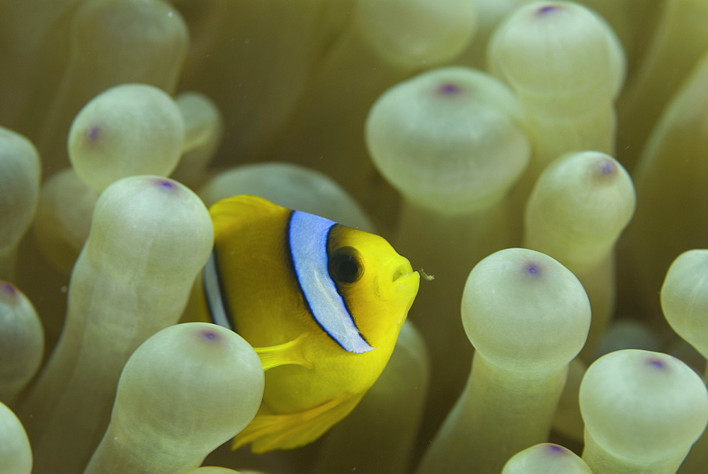 Red Sea Anemonefish (Amphiprion bicinctus), juvenile amidst anemone tentacles, Red Sea.