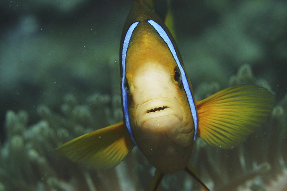 Striped Anemonefish (Amphiprion clarkii), details of head, Raiatia, French Polynesia