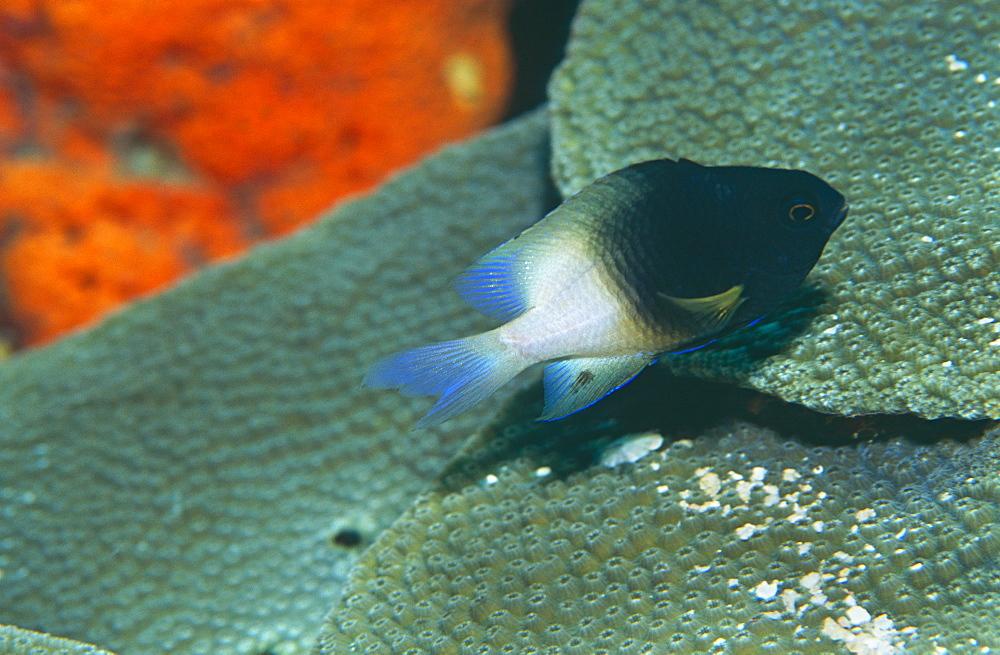 Bicolar Damselfish (Stegastes partitus), nice black & white fish over good corals,  Bonaire, Caribbean - 970-169