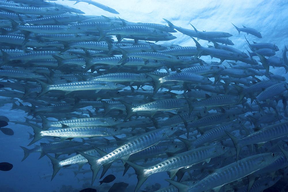 Great Barracuda (Sphyraena barracuda),  large school of fish swimming in formation, Sipidan, Mabul, Malaysia. - 970-183