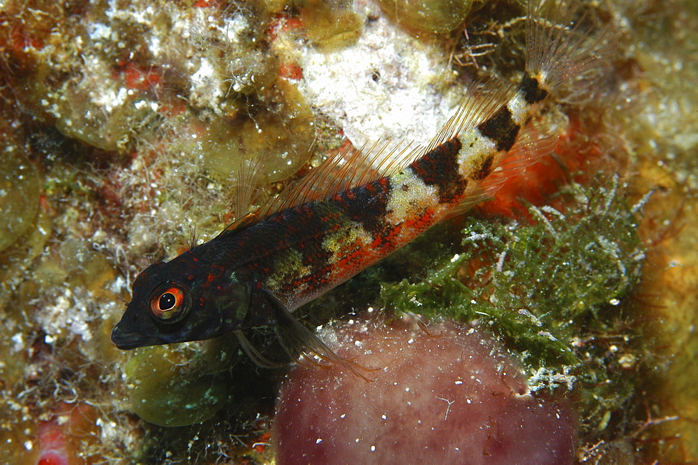 Saddled Blenny (Malacoctenus triangulatus), resting on corals,Cayman Islands, Caibbean