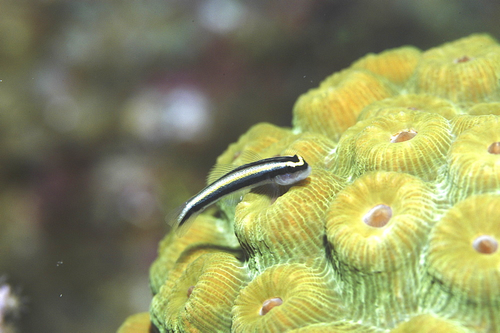 Cleaning Goby (Gobiesoma genie) very clear, resting on green hard coral, Cayman Islands, Caribbean