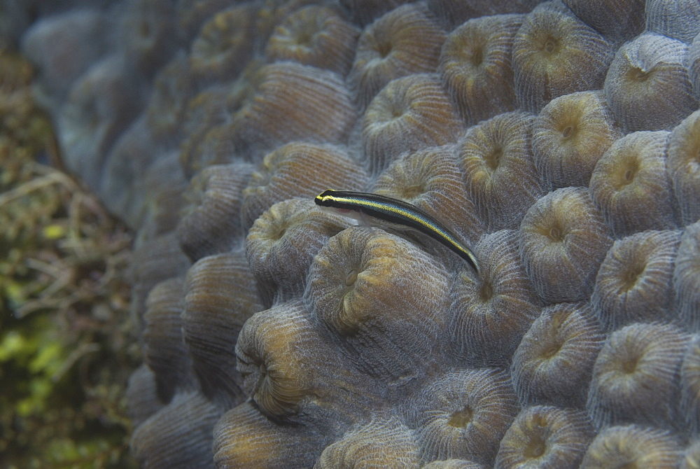 Cleaning Goby (Gobiesoma genie) very clear, resting on green hard coral, Cayman Islands, Caribbean - 970-262