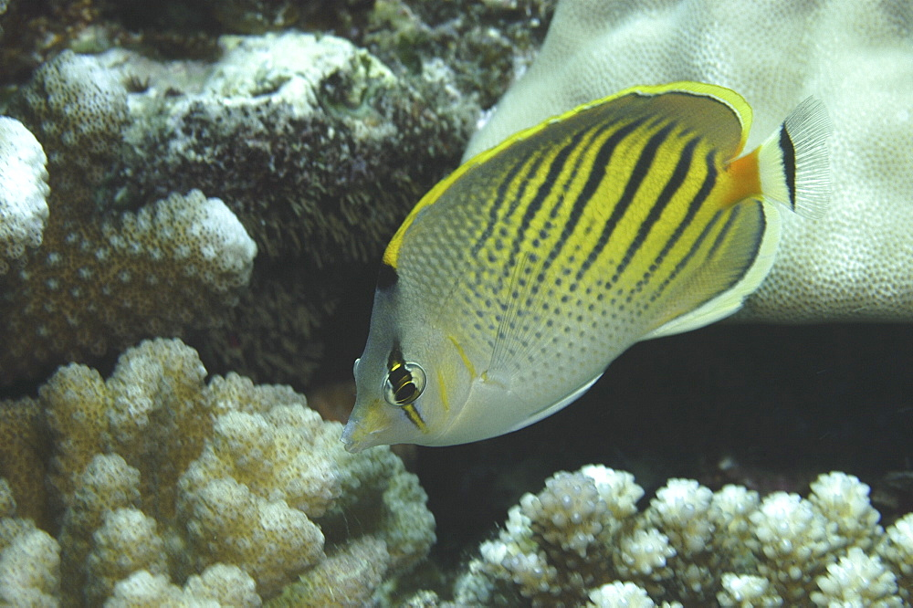 (Chaetodon pelewensis), diagonal view of fish showing superb markings, Tahiti, French Polynesia