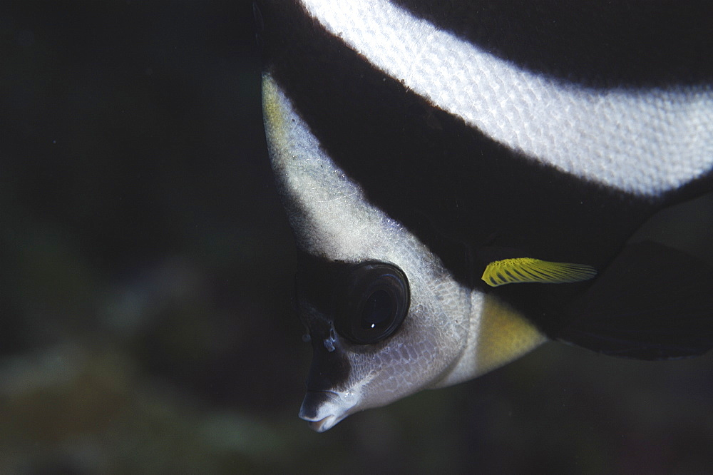 Pacific Pennantfish (Heniochus diphreutes), diagonal view of head, almost monochrome, but with yellow flash, Tahiti, French Polynesia