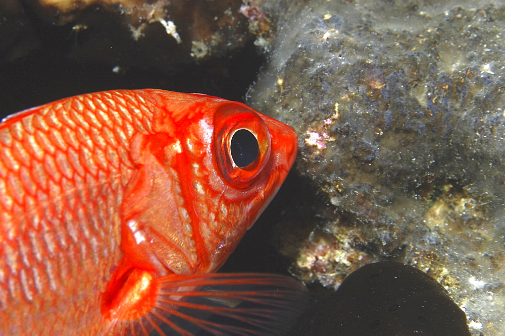 Bigeye Snapper (Priacanthus hamrur) red fish with large black eye swimming diagonally with head in profile, Tahiti, French Polynesia Underwater.