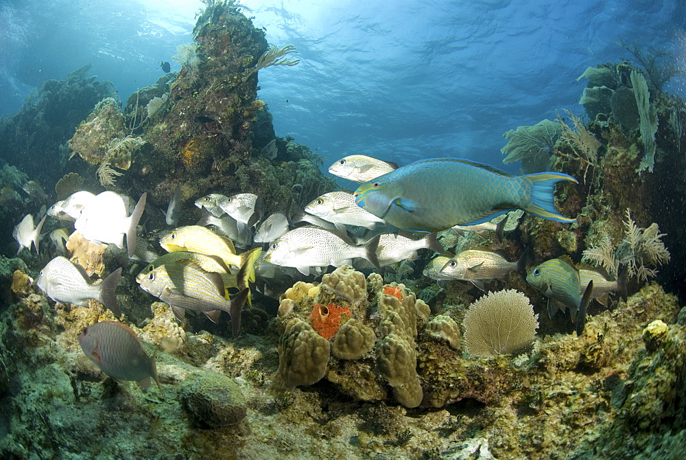 Group of snapped and one large parrotfish swimming across tropical coral reef, Cayman Brac., Cayman Islands, Caribbean