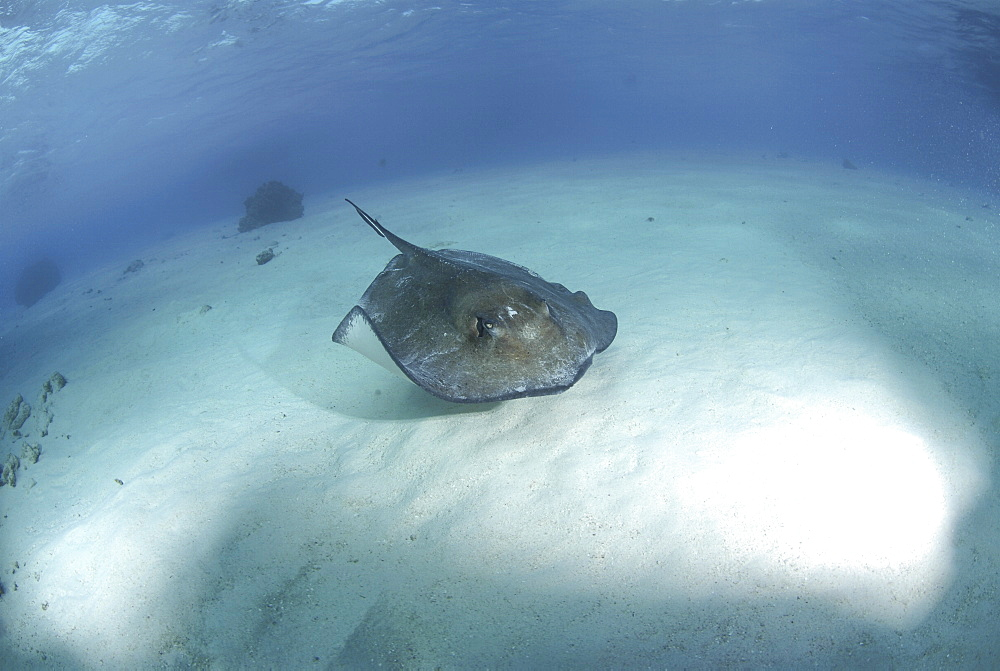 Southern Stingray (Dasyatis americana), swimming over sandy seabed, Cayman Islands, Caribbaen.