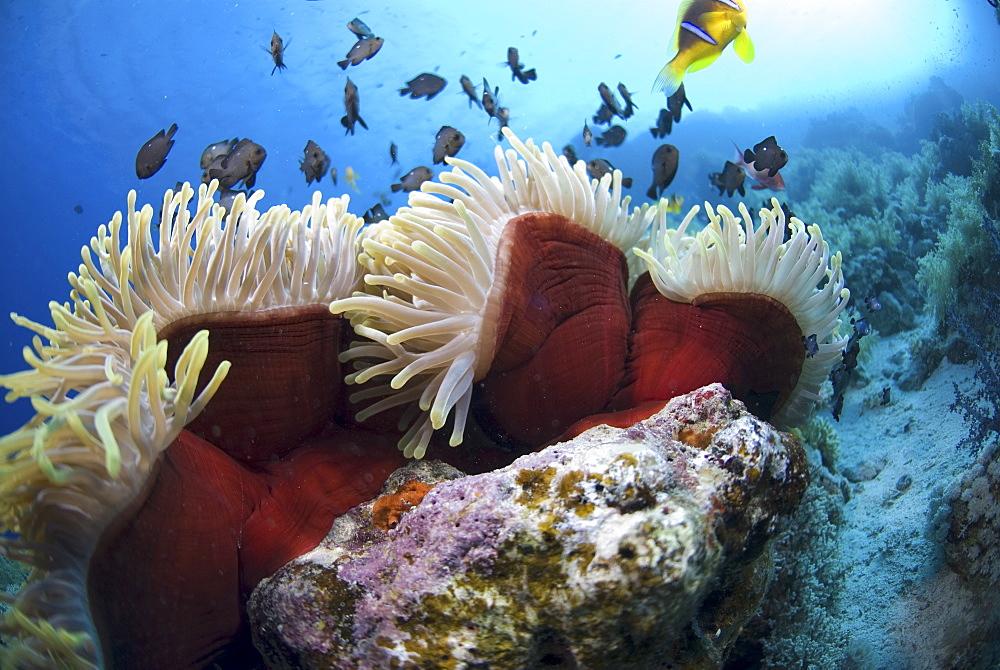 Red Sea Anemone (Heteractis magnifica), Anemonefish and Damselfish swimming around anemone, Red Sea