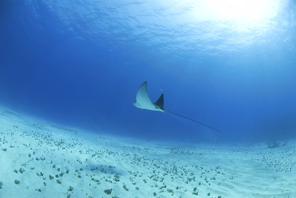 Eagle ray (Aetobatus narinari), swimming over candy saebed, Little Cayman Island, Cayman Islands, Caribbean