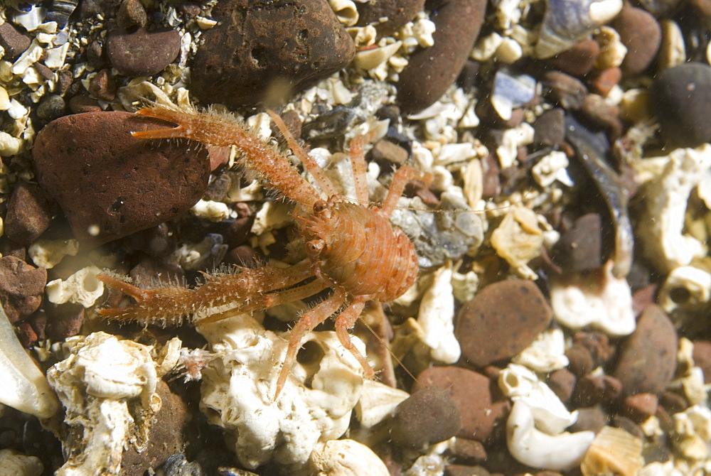 (Galathea nexa), Juvenile brilliant orange-coloured, hairy British squat lobster on gravel seabed, St Abbs, Scotland, UK North Sea