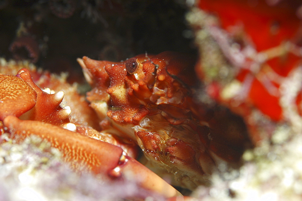 Red Ridged Clinging Crab (Mithrax forceps) hiding in corals with eye and front of shell showing, Cayman Islands, Caribbean