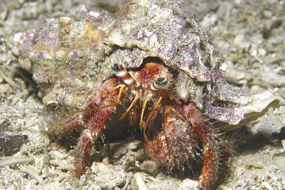 Hairy Hermit Crab (pagarus cuanensis), view of hermit crab in its shell with all parts showing comical looking, Maltese Islands, Mediterranean