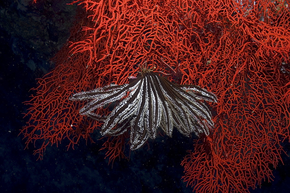 Comanthina Crinoid (Comantheria briareus) black & white in colour and hanging down on brilliant red Sea Fan, Sipidan, Mabul, Malaysia.