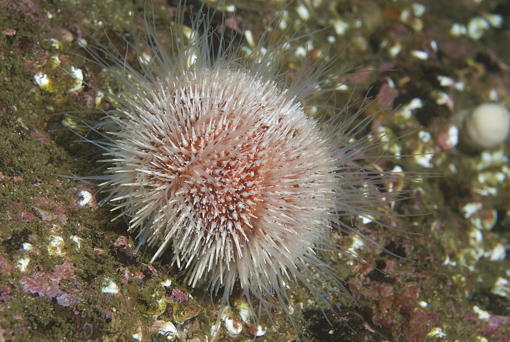 Common Sea Urchin (Echinus esculentus), view showing colourful shell , spines and tube feet extended on indistinct background, St Abbs, Scotland, UK