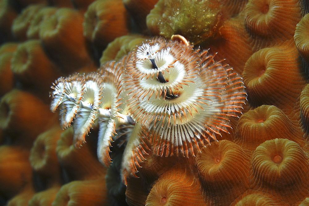 Christmas Tree Worm (Spirobranchus giganteus), Close up of individual on ochre coloured hard coral, Cayman Brac, Cayman Islands, Caribbean