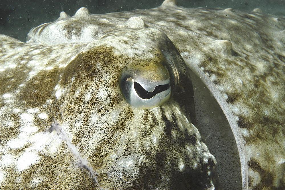 Common Cuttlefish (Sepia latimanus), close ups of head showing half-moon shaped eye, Mabul, Borneo, Malaysia, South China Sea - 970-624