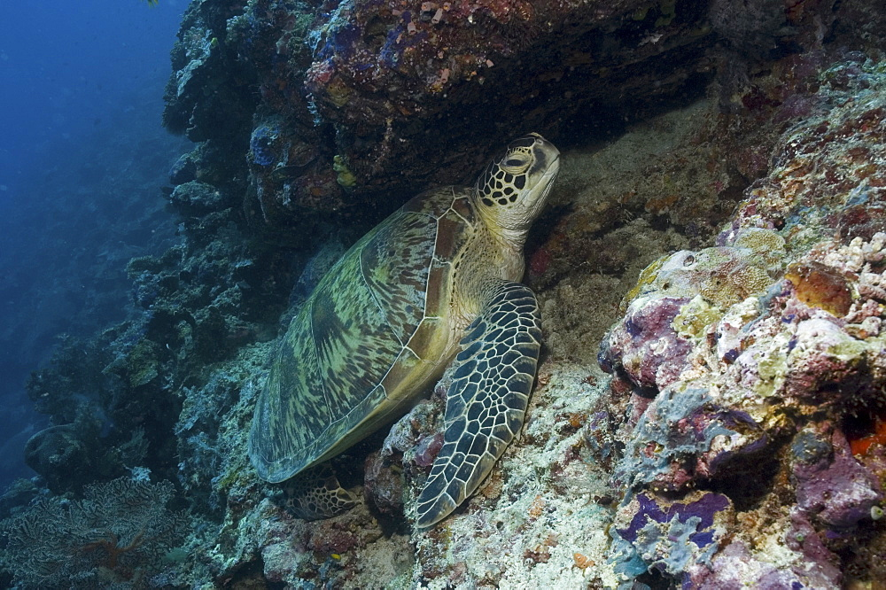 Green Turtle (Chelonia mydas), turtle at rest on coral platform under reef, Sipidan, Mabul, Malaysia.