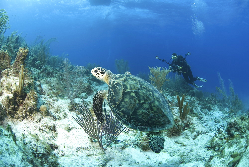Hawksbill Turtle (Eretmochelys imbriocota), swimming over coral reef with diver in background, Little Cayman Island, Cayman Islands, Caribbean