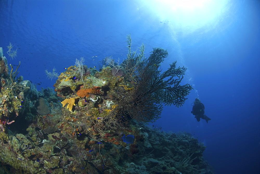 Scuba Diver over coral and sponge reef, Maria La Gorda, Caribbean - 970-902