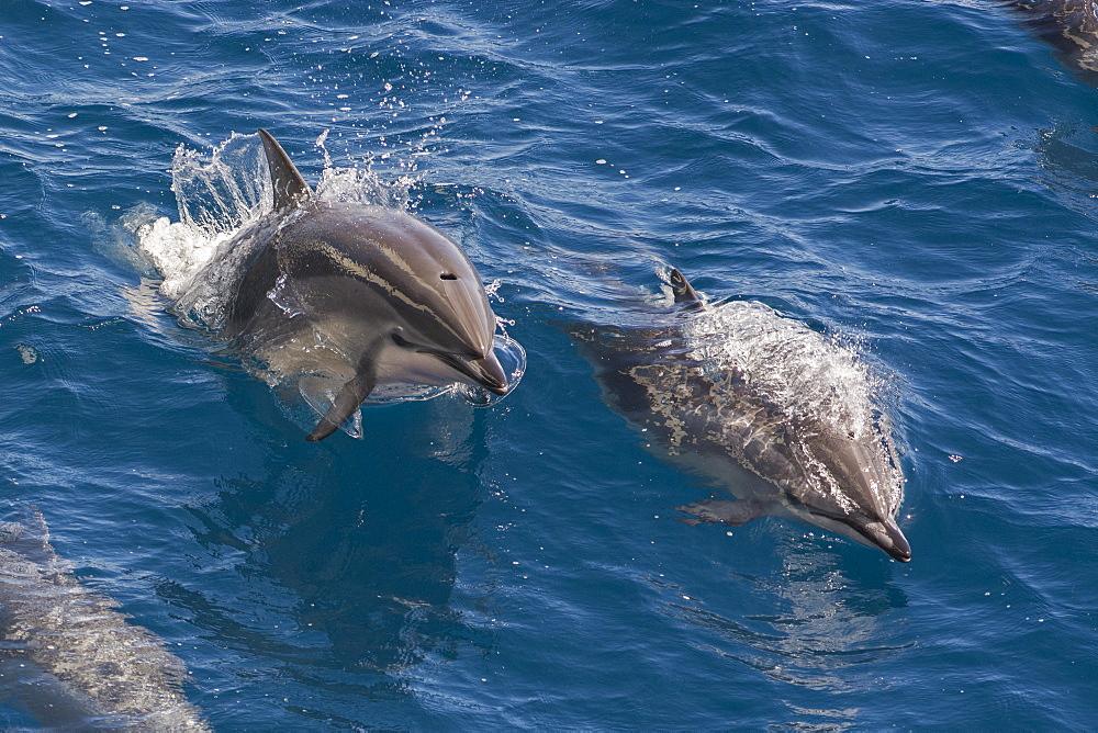 Clymene dolphin (Stenella clymene), Senegal, West Africa, Africa - 971-140