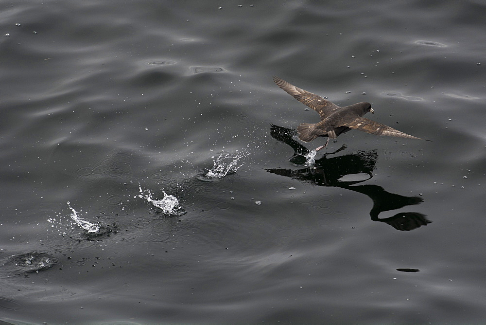 Northern fulmar (Fulmarus glacialis) taking off from a calm sea, Sakhalin Island, Russia, Eurasia