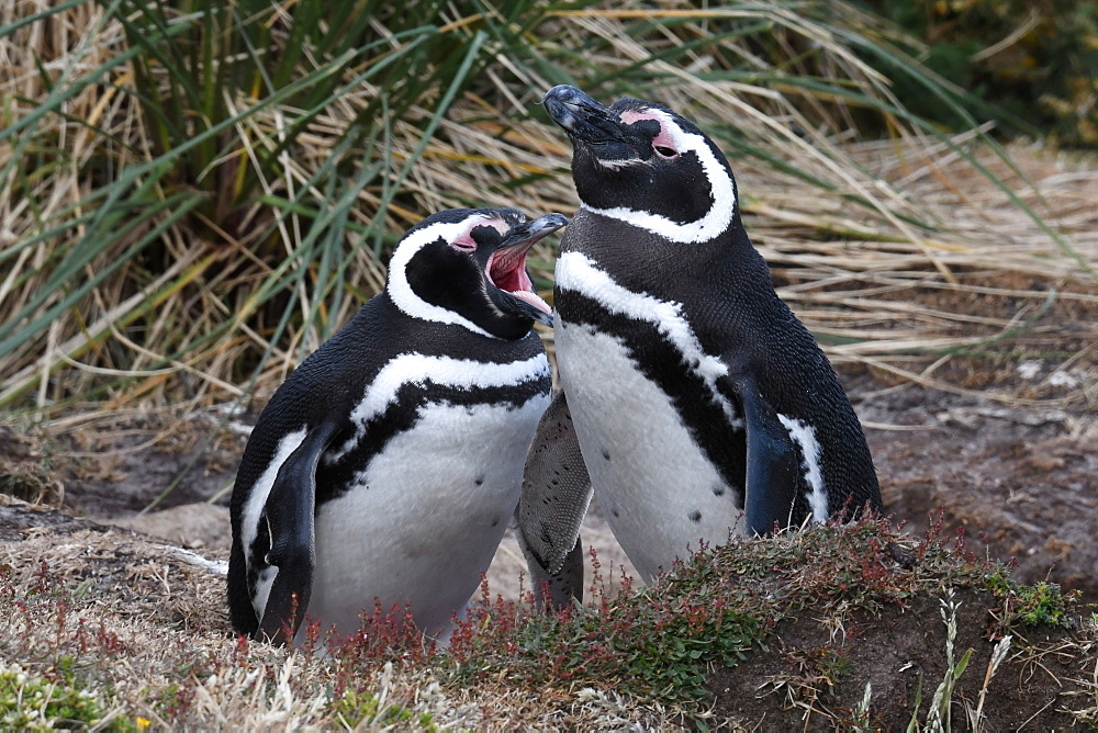 Magellanic penguin (Spheniscus magellanicus) pair resting in coastal habitat, Gypsy Cove, Falkland Islands, South America