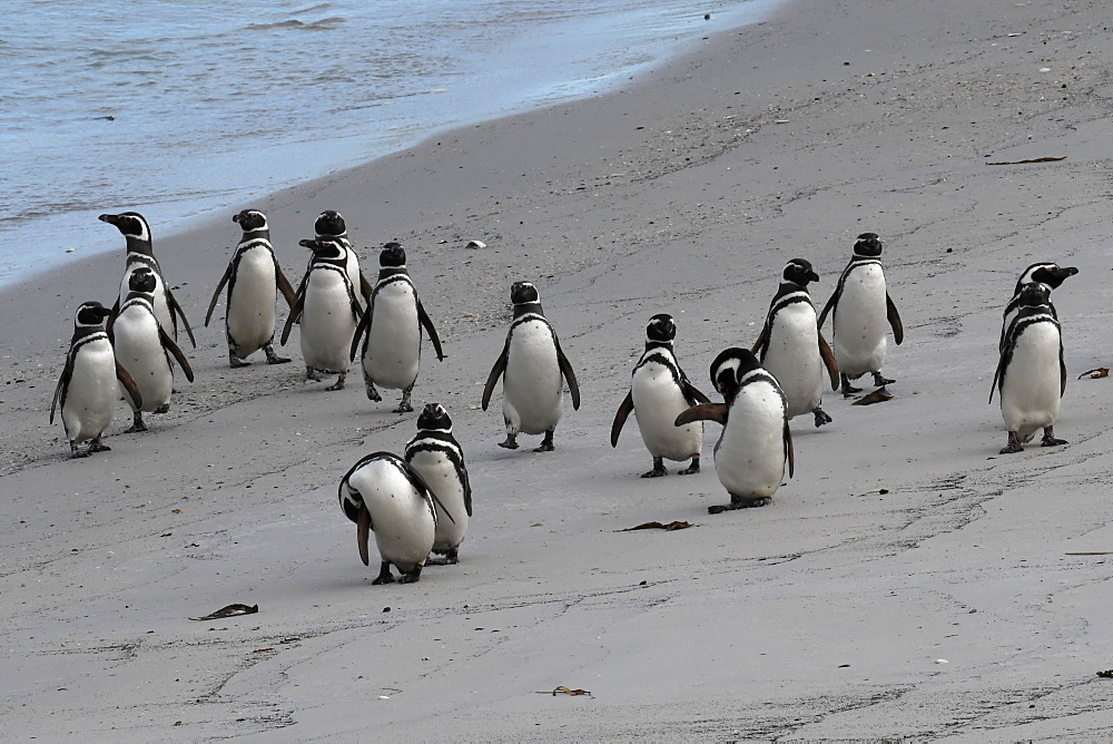 Magellanic penguins (Spheniscus magellanicus) marching along the beach, Gypsy Cove, Falkland Islands - 971-145