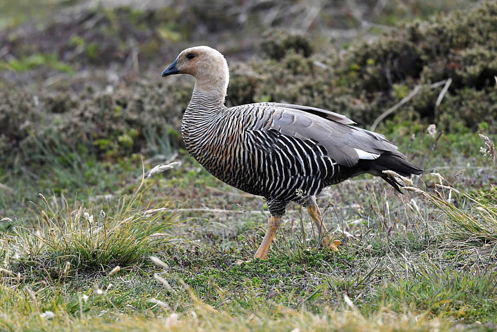 Female upland goose (Chloephaga picta) in its grassland habitat, Falkland Islands - 971-146