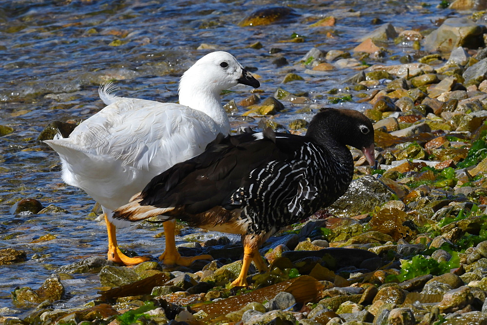 Male and female kelp goose (Chloephaga hybrida) foraging on a pebble beach along the water's edge, Falkland Islands, South America