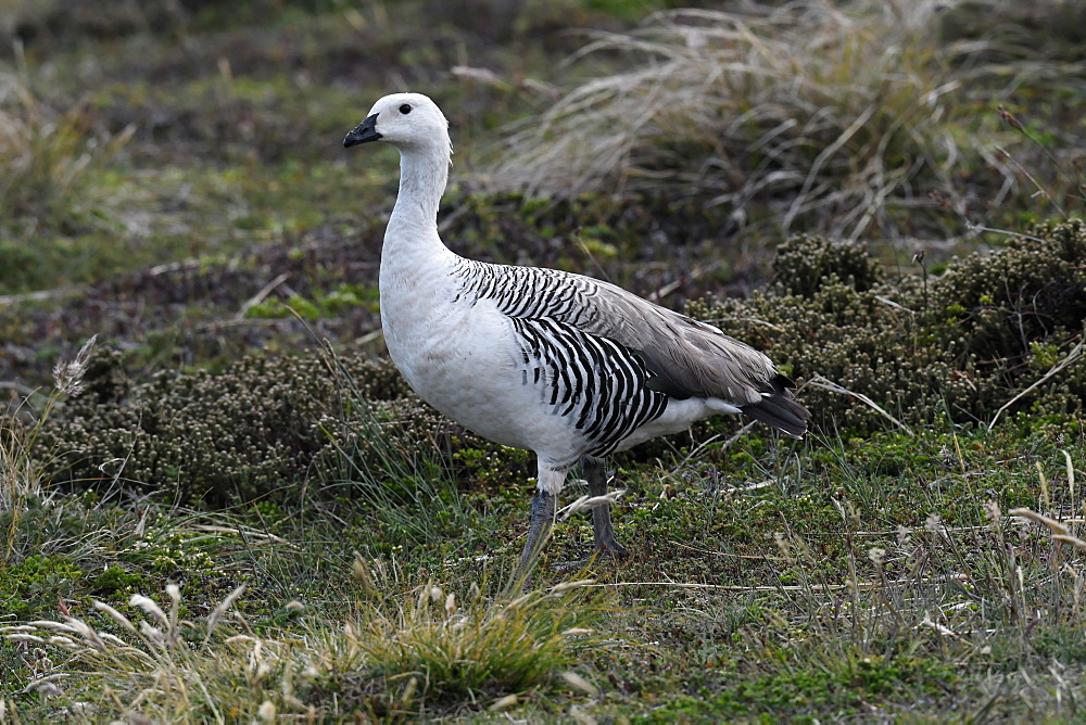 Male upland goose (Chloephaga picta) in its grassland habitat, Falkland Islands - 971-148