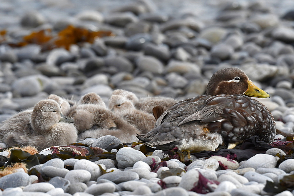 Female Falkland steamer duck (Tachyeres brachypterus) with chicks camouflaged on pebble beach, Falkland Islands, South America
