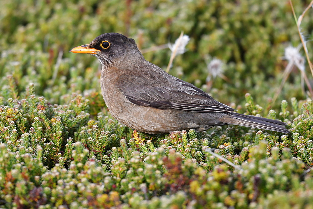 Adult Austral thrush (Turdus falcklandii) of the subspecies Falkland thrush (T. f. falcklandii), Falkand Islands - 971-155