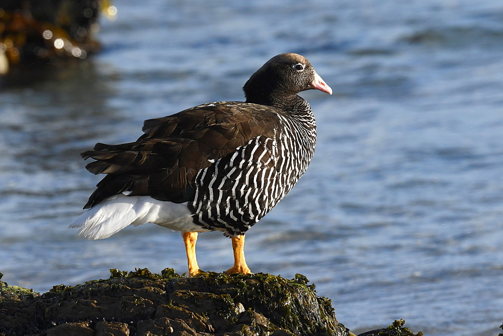 Female kelp goose (Chloephaga hybrida) standing on a stone overlooking the sea, Falkland Islands, South America